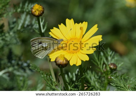 White butterfly on yellow flower. Springtime nature macro. - stock photo