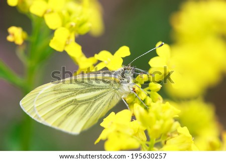 White butterfly (Pieris brassicae) on a wild yellow flowers, selective focus on face, macro  - stock photo