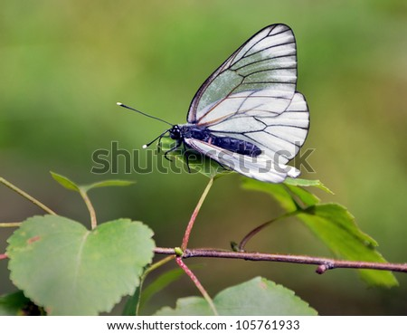 White butterfly sitting on leaf of a birch - stock photo