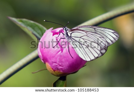 White butterfly sitting on the bud of pink iris - stock photo