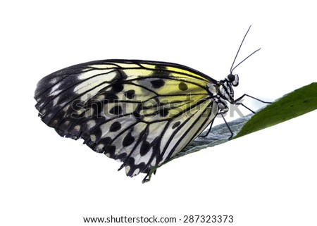 White butterfly standing on a leaf on white background - stock photo