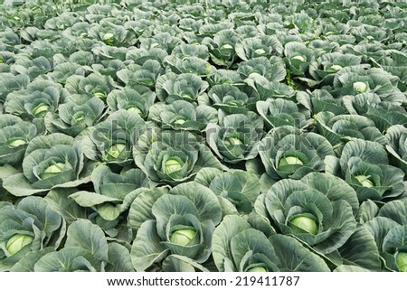 white cabbage field  - stock photo