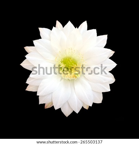 White Cactus flower isolated on black background with clipping part. - stock photo
