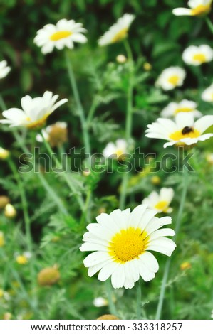White calendula flower in the meadow in cloudy weather - summer floral landscape. Focus at the flower - stock photo