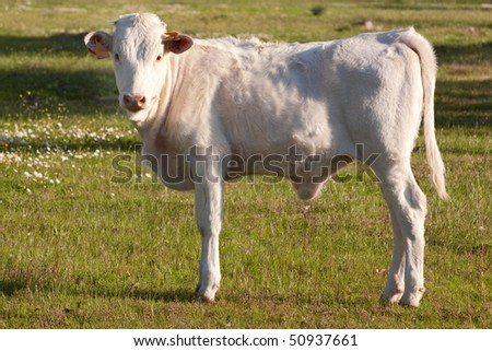 White calf in the field looking at the camera - stock photo