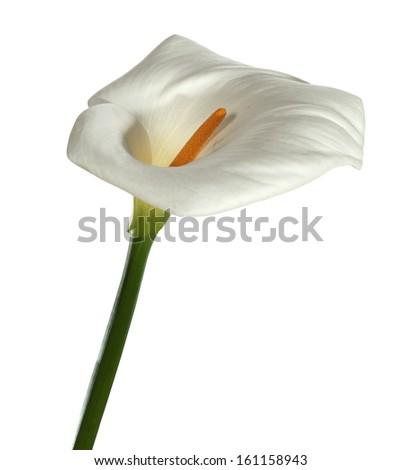 white calla flower  - stock photo