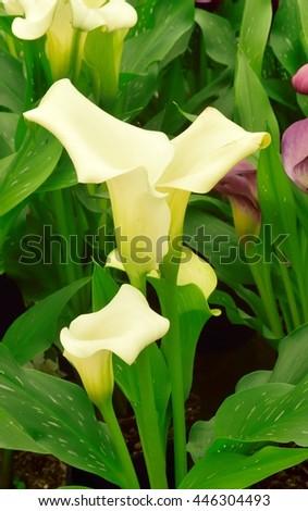 White Calla lilies. - stock photo