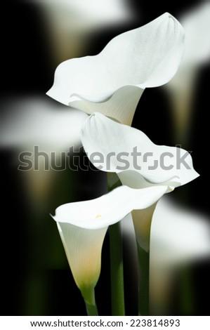 white Calla lily  - stock photo