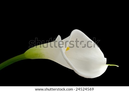 White calla lily isolated on black - stock photo