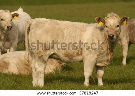 white calves - stock photo