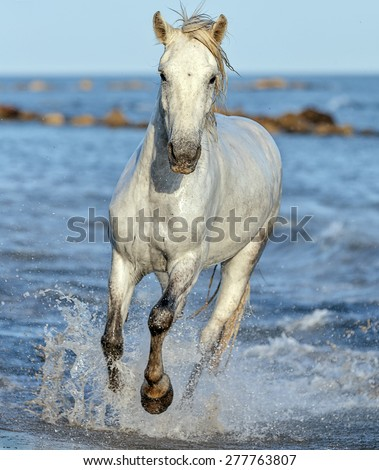 White Camargue Horse galloping along the beach in Parc Regional de Camargue - Provence, France  - stock photo