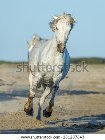 White Camargue Horse running on the beach in Parc Regional de Camargue - Provence, France  - stock photo