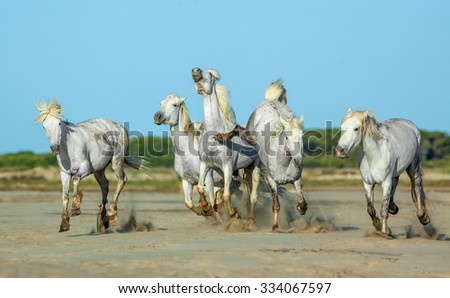 White Camargue Horses galloping along the beach in Parc Regional de Camargue against the blue sky - Provence, France - stock photo