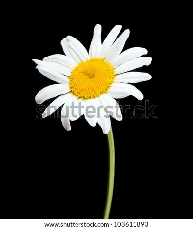 white camomile isolated on black - stock photo