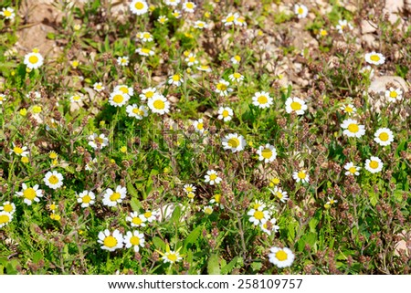 White camomiles in a spring field - stock photo