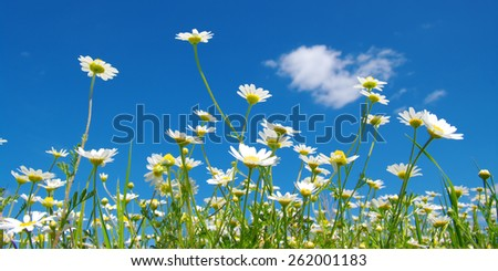 White camomiles on blue sky background  - stock photo