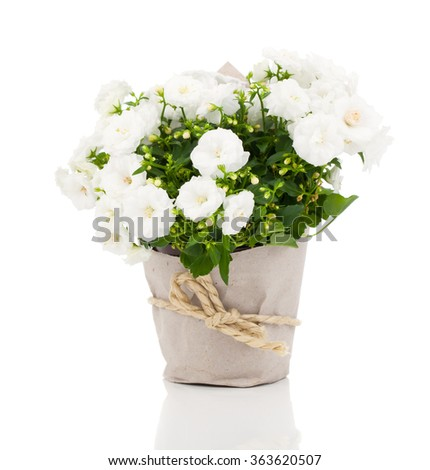 white Campanula terry flowers in paper packaging, on a white background. - stock photo