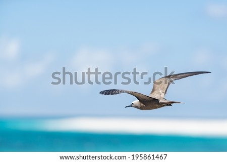 White-capped Noddy (Anous minutus) flying low over surface of sea, Bird Island, Seychelles - stock photo