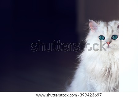 White cat chinchilla on a dark background - stock photo