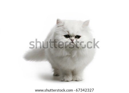 White cat Chinchilla on white background - stock photo