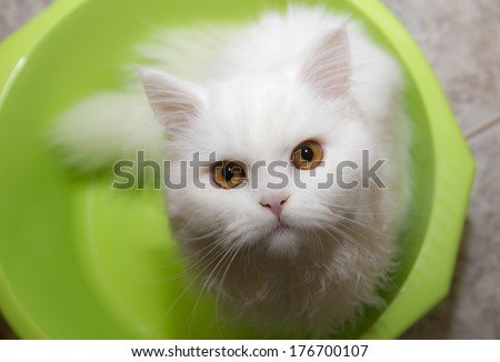 white cat in a bowl; Angora - stock photo