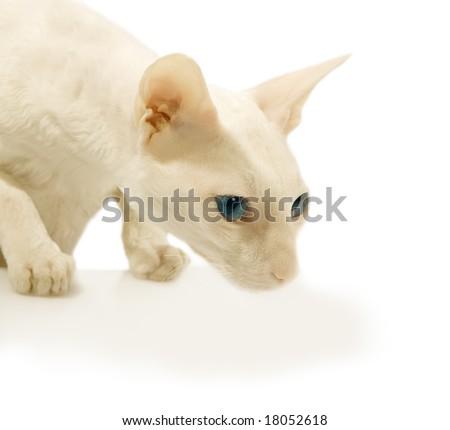 White  cat interested something - stock photo