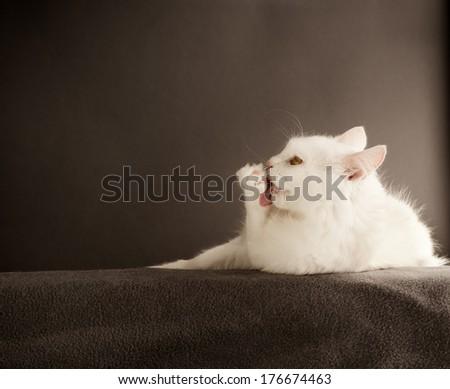 White cat licking its paw - stock photo
