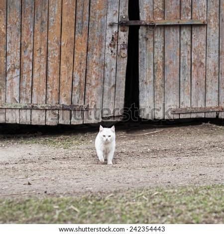 white cat walking towards the camera,  barn door background - stock photo