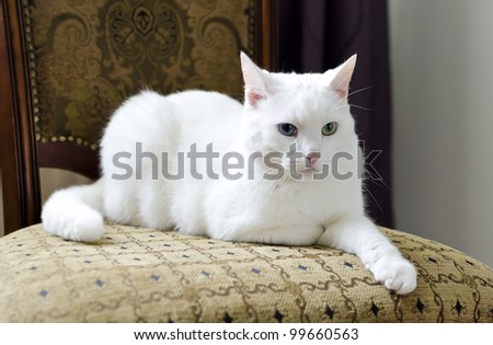 White cat with different eyes lying on a chair - stock photo