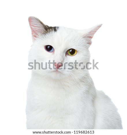 white cat with multicolored eyes looking at camera.  isolated on white background - stock photo