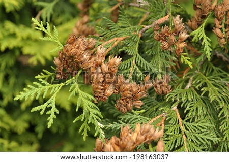 White cedar Thuja occidentalis - stock photo