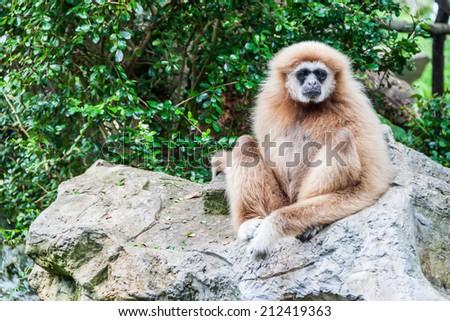 White cheek gibbon in thailand sitting on a rock - stock photo