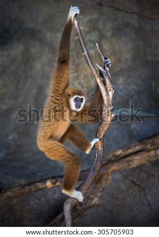 White cheeked gibbon. - stock photo