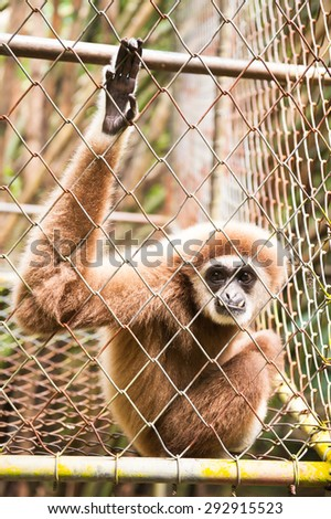 White Cheeked Gibbon in the cage of rehabilitation project , train to Survive , no release and would like to be free - stock photo