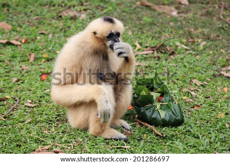 White Cheeked Gibbon or Lar Gibbon eating the fruit - stock photo