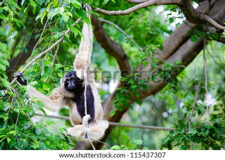 White Cheeked Gibbon or Lar Gibbon with Family - stock photo