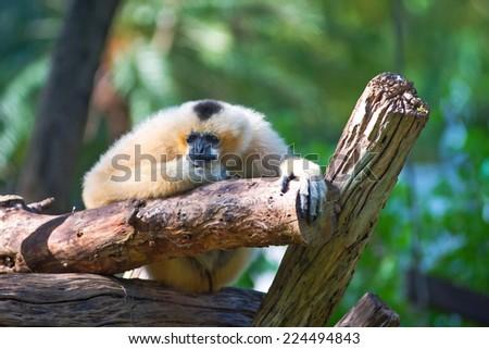 White Cheeked Lar Gibbon sitting sadly on the timber. - stock photo