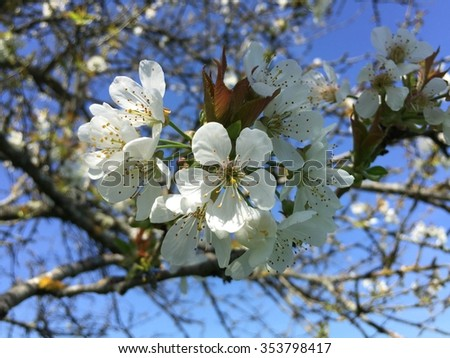 white cherry  blossom and blur blue sky background - stock photo