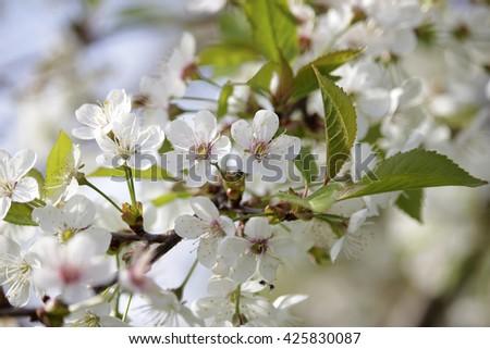 white cherry blossoms - stock photo