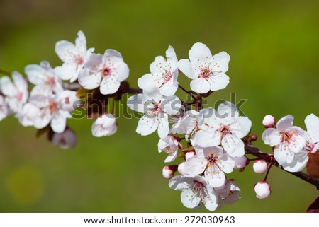 white cherry flowers in spring - stock photo