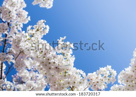 White cherry tree blossoms in spring. Bright blue sky background with copy space. - stock photo