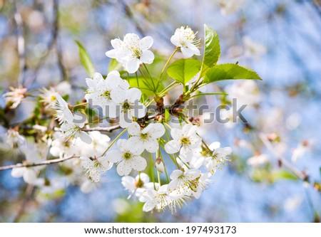 White cherry tree flowers, close up - stock photo