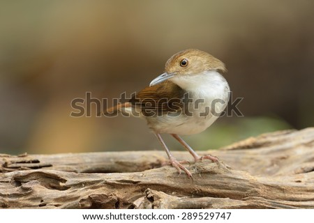 White Chested Babbler searching food on the log - stock photo