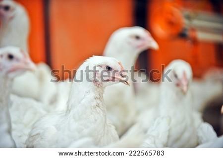 white chicken on a farm - stock photo