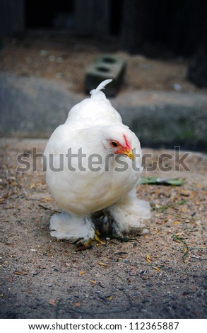 White chicken walking closeup outdoors - stock photo