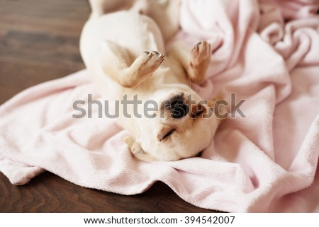 White chihuahua dog sleeping on a pink blanket, wooden floor at home - stock photo