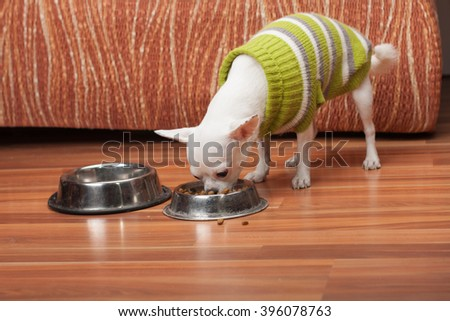 White Chihuahua dressed with pullover feeding granules at home, 3 years old female.  - stock photo