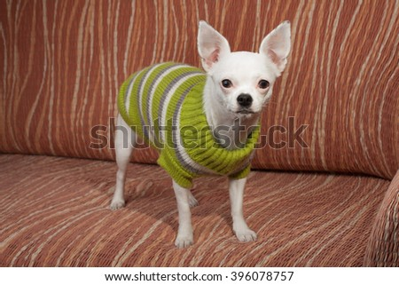 White Chihuahua  dressed with pullover standing on sofa, 3 years  old female.  - stock photo