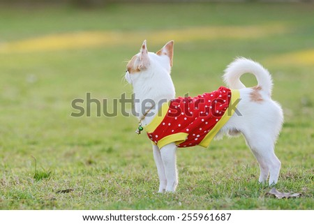 White Chihuahua wearing a red dress, standing in the grass - stock photo