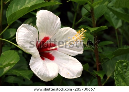 White Chinese Hibiscus blooming (Hibiscus rosa-sinensis)(Symbolism: Thoughtful,tender) - stock photo